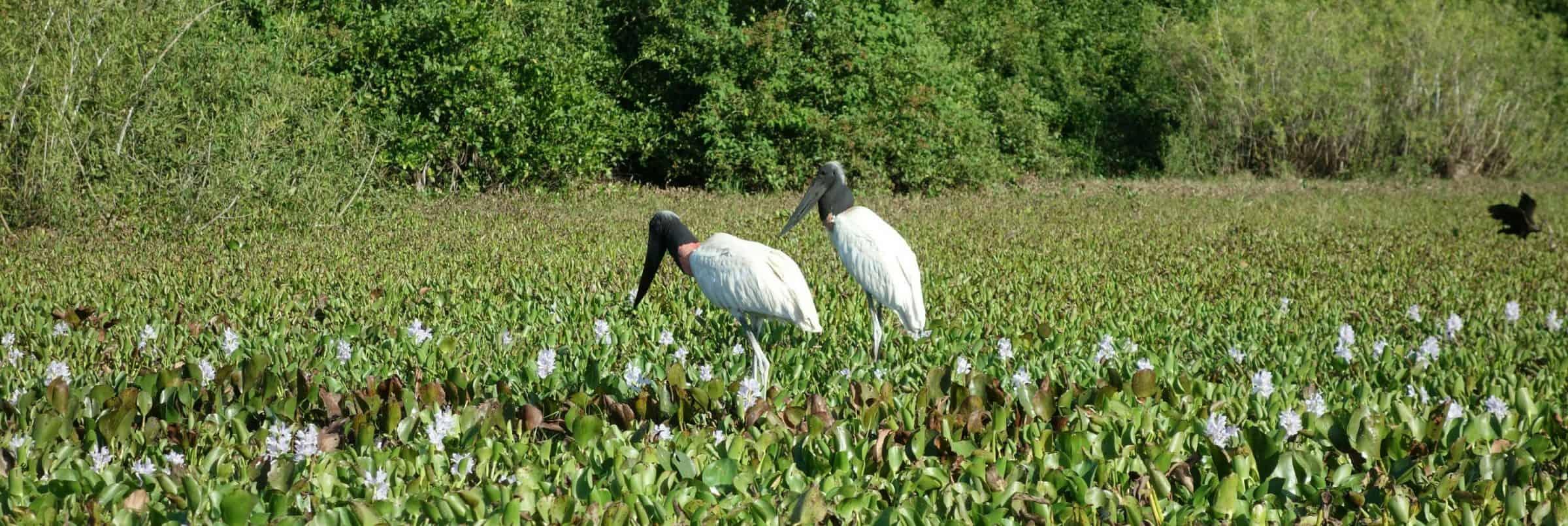 Storks, Pantanal, Brazil