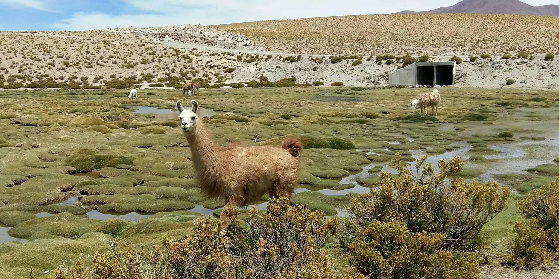 Llamas near Uyuni, Bolivia