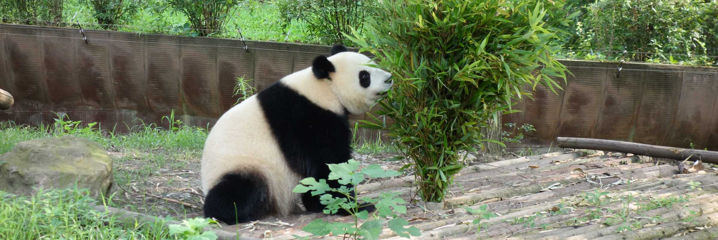 Panda, Chengdu, China