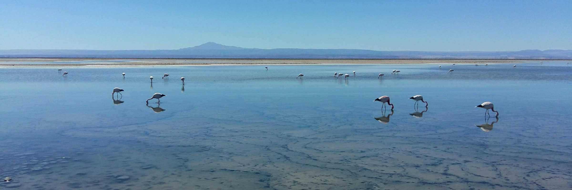 Flamingos in the Atacama Desert, Chile
