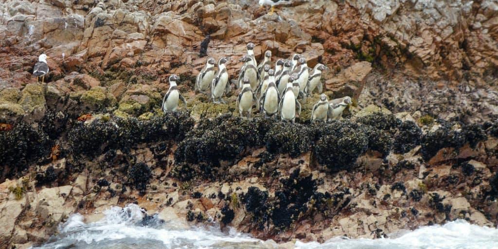 Penguins on Islas Ballestas, Paracas, Peru