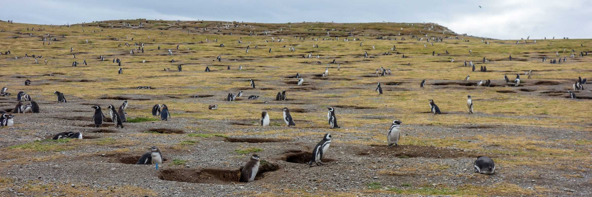 Penguins on Isla Magdalena, Punta Arenas, Patagonia, Chile