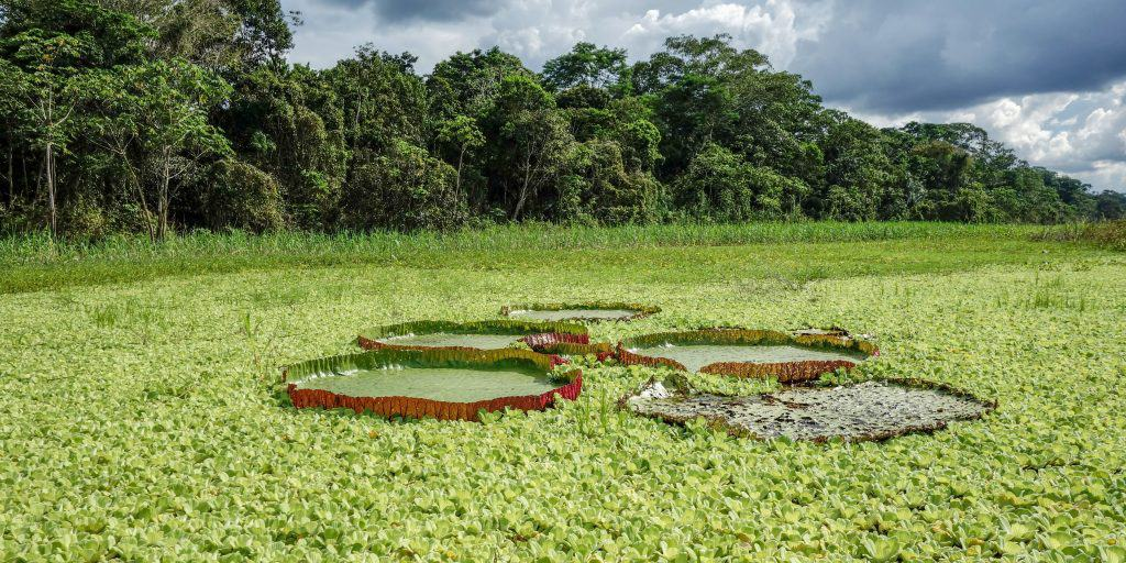 Giant lily pads in the Amazon near Iquitos, Peru