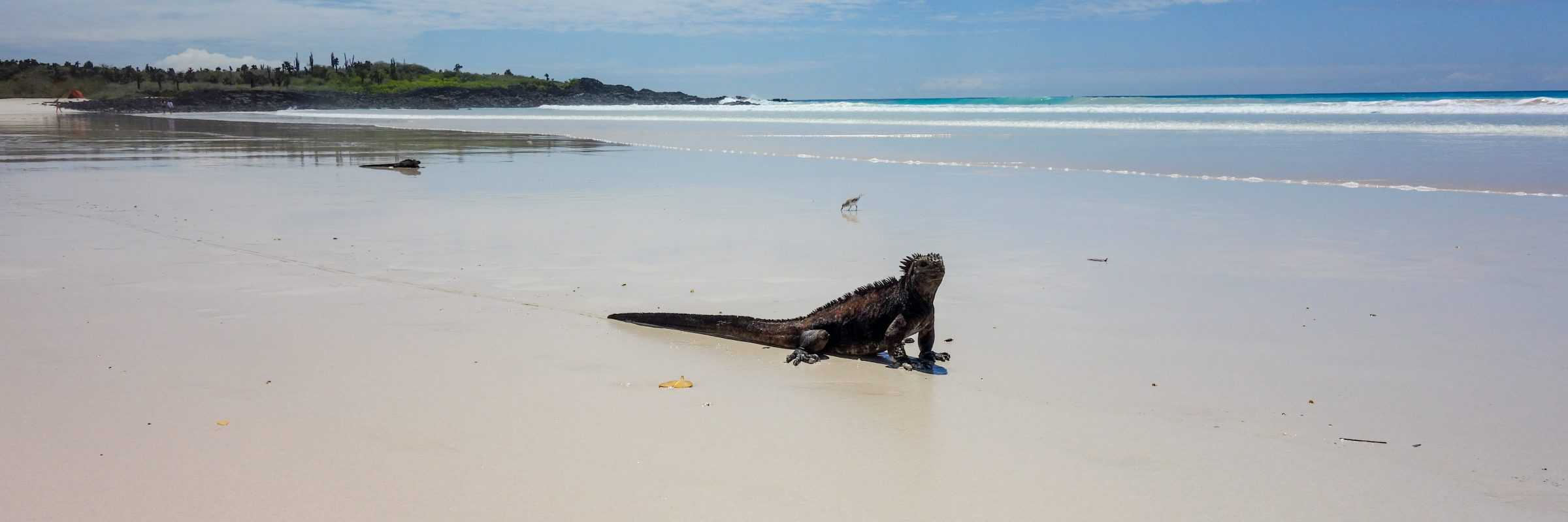 Marine iguana at Turtle Bay, Santa Cruz, Galapagos, Ecuador
