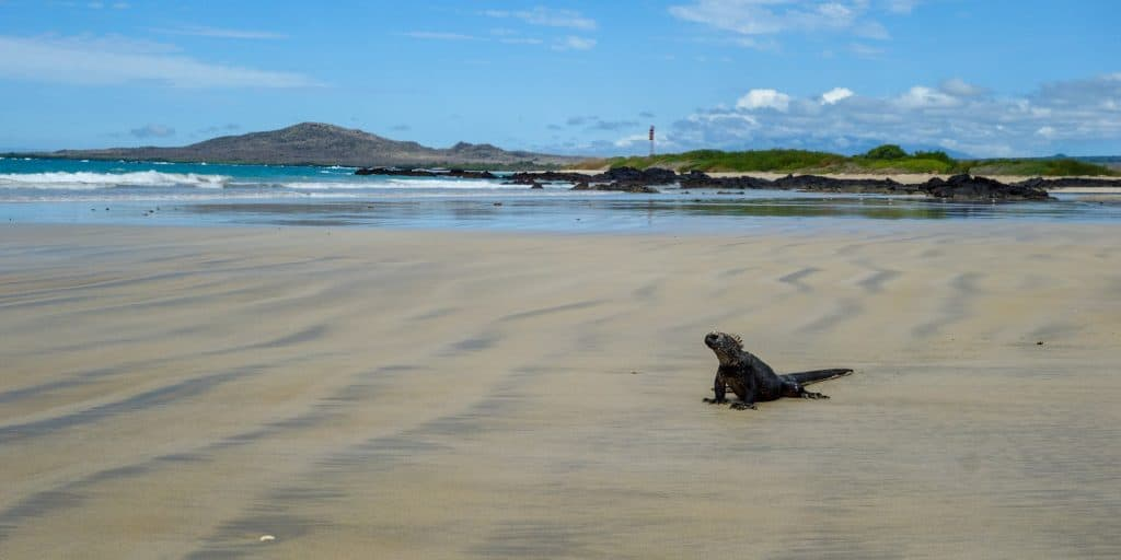 Marine iguana on the beach, Isabela Island, Galapagos, Ecuador