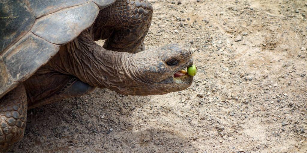 Giant tortoise, Isabela Island, Galapagos, Ecuador