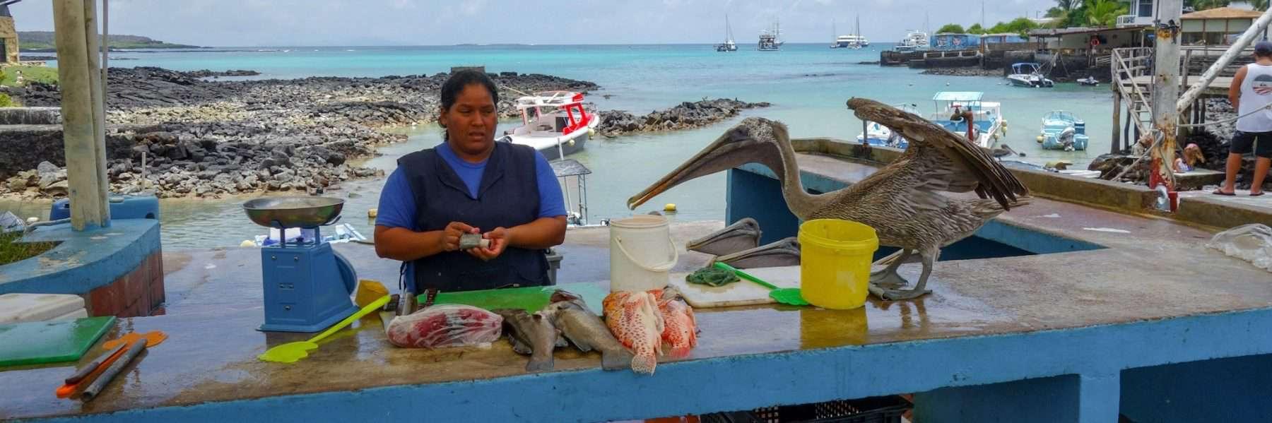 Pelicans at fish market, Puerto Ayora, Santa Cruz, Galapagos