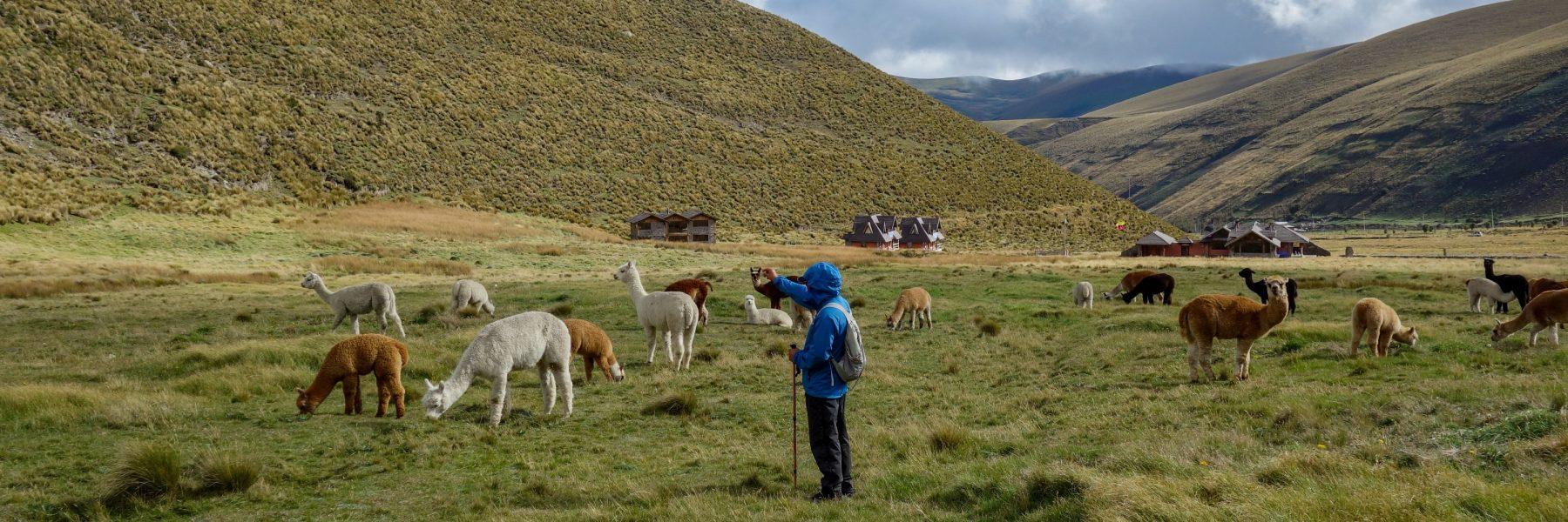 Alpacas on Mount Chimborazo, Ecuador