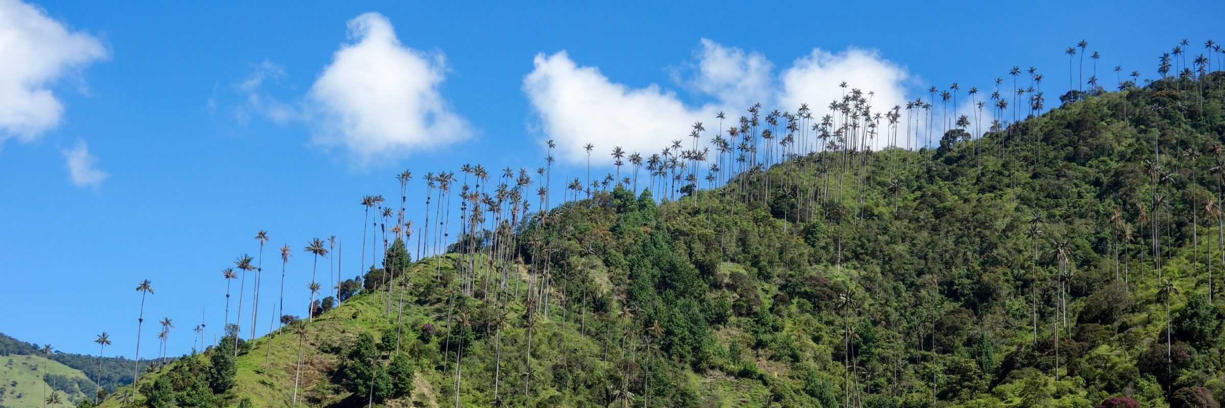 Palm trees in the Cocora Valley, Colombia